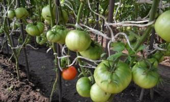 Вирощування помідорів в теплиці