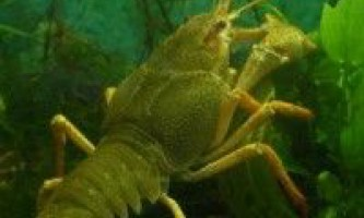 Вирощування річкового рака в рибницьких господарствах