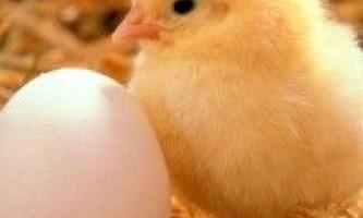 Вирощування ремонтного молодняку курей яєчних порід