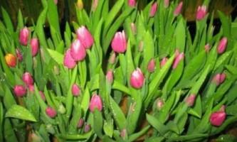 Вирощування тюльпанів до 8 березня
