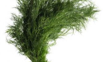 Вирощування кропу на продаж і для особистих потреб