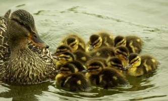 Орнітоз птахів: симптоми, види, лікування