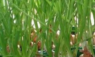 Вирощування зелені на підвіконні в домашніх умовах