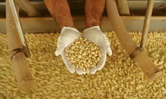 Виведений арахіс, що не викликає алергії