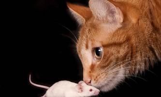 Виведено миші, здатні «нюхати» світло