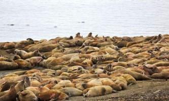 За атлантичними моржами з землі франца-йосифа встановлять фотоспостереження