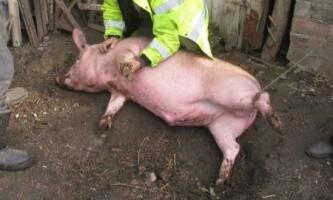 Забій свиней - кілька прийомів