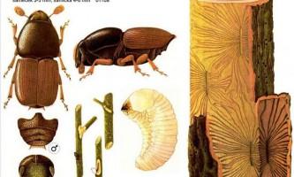 Заболонник дубовий: фото жука