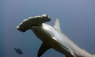Навіщо акулі-молот на голові молот?
