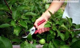 Навіщо і коли обрізають фруктові дерева