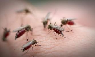 Навіщо комарі п`ють кров?