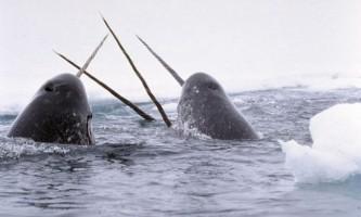 Навіщо морським єдинорога бивень