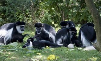 Навіщо мавпи співають вранці