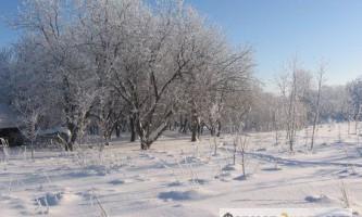 Навіщо обрізають дерева взимку