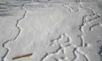 Навіщо птахи будують снігові тунелі?