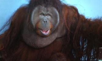 Загадки спілкування орангутанів