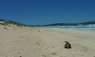 Загадкова загибель дитинчат тюленя в австралії залишилася нерозкритою