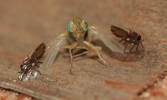 Загадкова муха goniurellia tridens