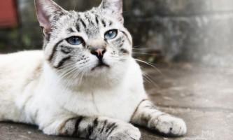 Загуляла кішка: що робити в домашніх умовах?