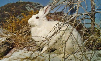 Заєць-біляк (лат. Lepus timidus)