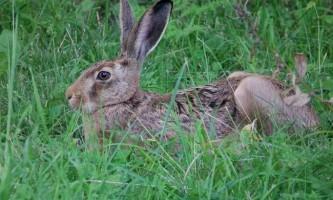 Заєць русак