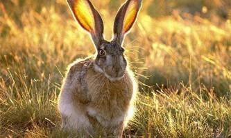 Заєць-толай - невеликий пухнастий боягуз