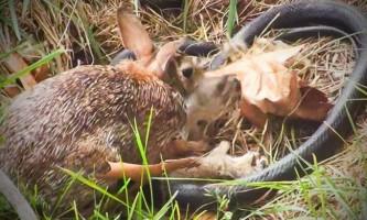 Зайчиха дала відсіч змії-вбивці