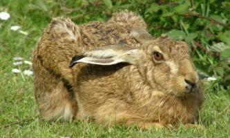 Зайці в природі