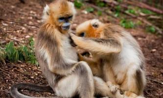 Помічений факт про те, що в природі існують мавпи-повитухи