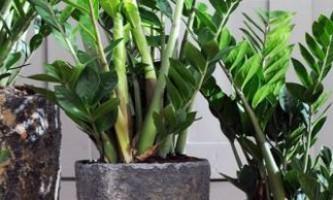 Замиокулькас - вирощуємо доларове дерево без проблем і турбот