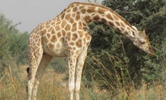 Західноафриканський жираф - рідкісний підвид