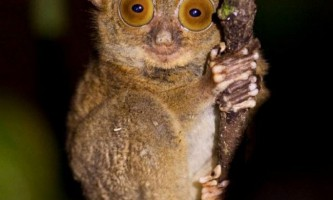 Західний долгопят - крихітний пухнастий примат