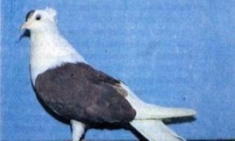 Запорізькі чубаті голуби