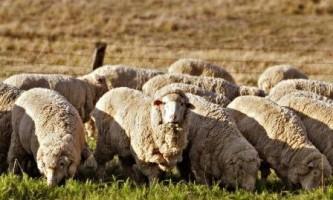 Заробляємо на вівцях! Бізнес план