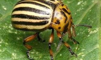 Захист картоплі від колорадського жука