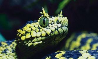 Заспиртована змія залишилася жива і вкусила кривдника