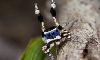 Запальний танець павучка maratus personatus