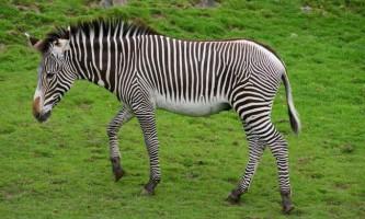 Зебра греве - зебра, схожа з ослом