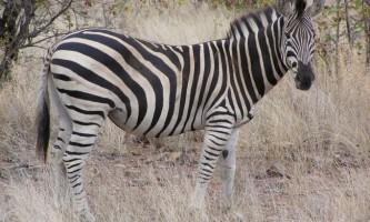 Зебра: опис, фото і відео тваринного