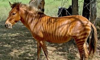 Зебрина - зебра, схрещена з конем