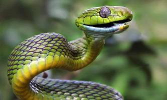Зелена бойга - змія з тонким тулубом