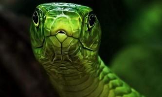 Зелена мамба - отруйна рептилія з красивою забарвленням шкіри