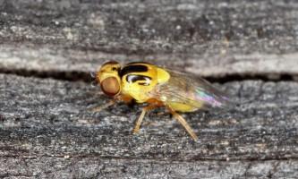 Зеленоглазка - муха-шкідник