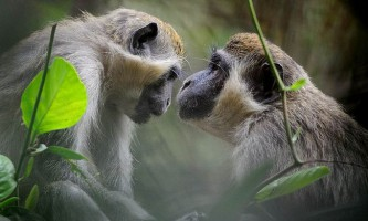 Зелені мавпи здатні оцінити вартість пропонованих їм послуг