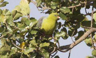 Зелений голуб: все про життя незвичайної птиці