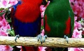 Зелено-червоний благородний папуга або двоколірний папуга (eclectus roratus)