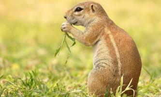 Земляна білка - гризун, що не робить запасів