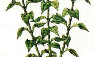 Земляна груша (топінамбур)