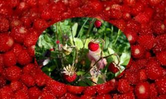 Суниця садова: садимо правильно