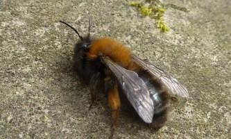 Земляні бджоли
